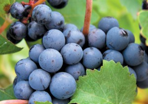 best health benefits of grapes