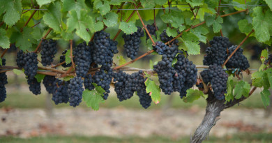 top 4 health benefits of grapes