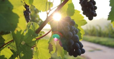 why Resveratrol is Effective in Preventing Cancer