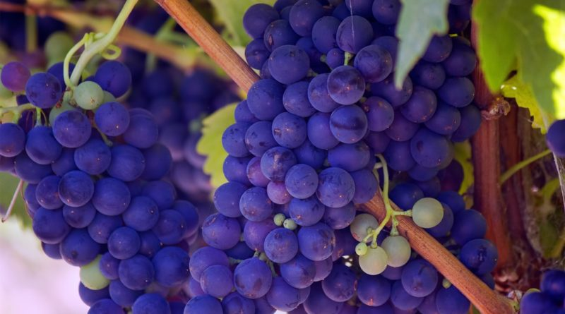 how to Use Resveratrol to Lose Weight