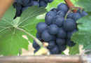 Detoxify Your Body with Grapes